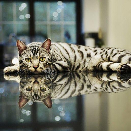 reflection Bengal