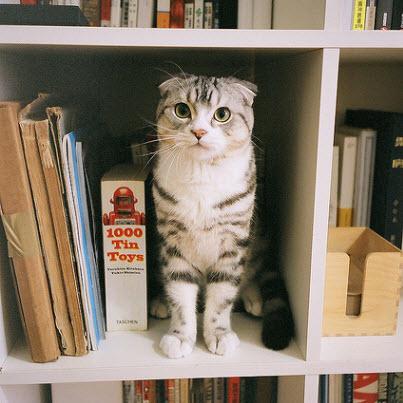scottish fold bookcase