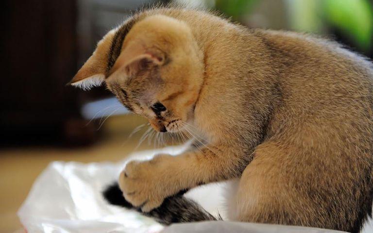 scottish shorthair kitten