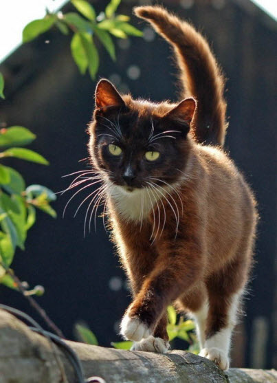 smoky brown cat fence