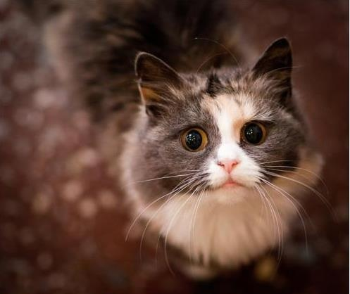 smoky grey cat