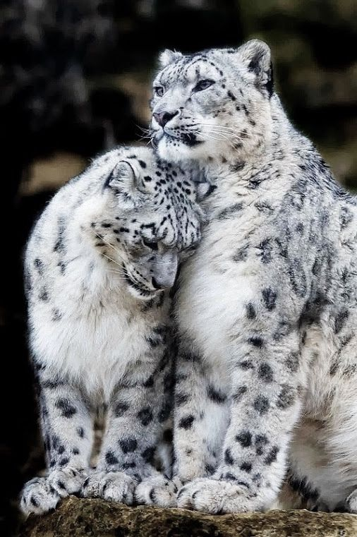 snow leopard pair