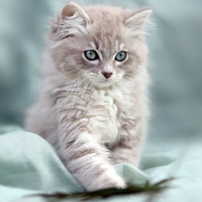 stunning grey blue eye kitten