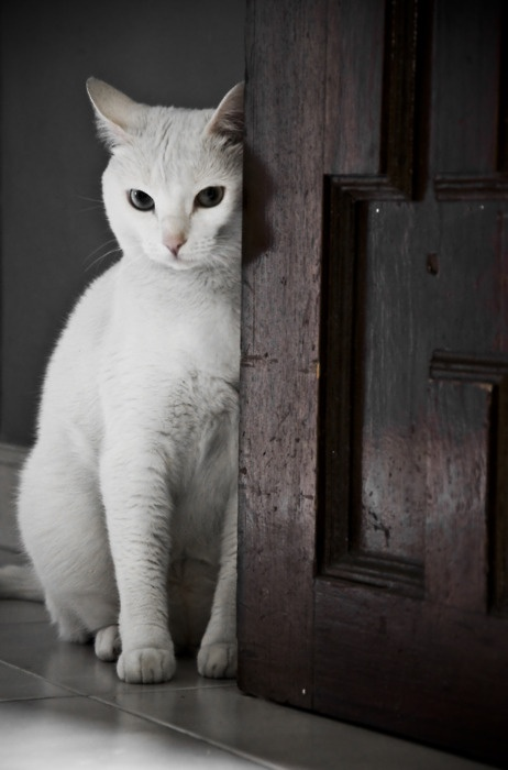 super pretty white cat