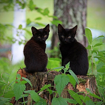 twin black cats