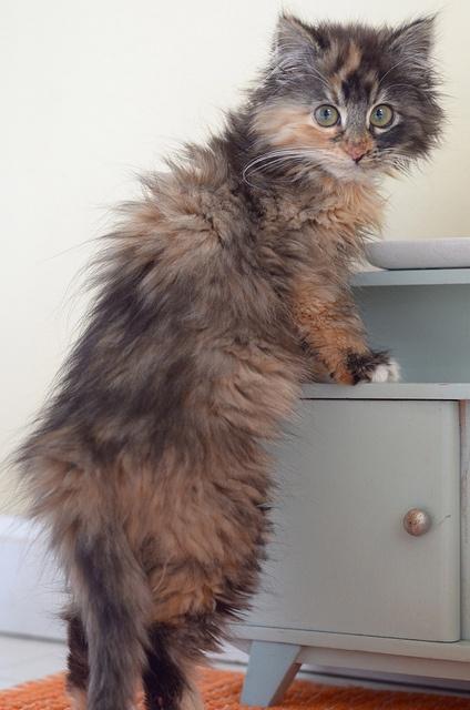 unusual colours long hair cat