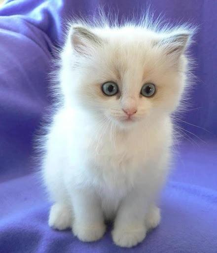 very fluffy kitten