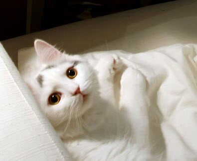 white kitten cute