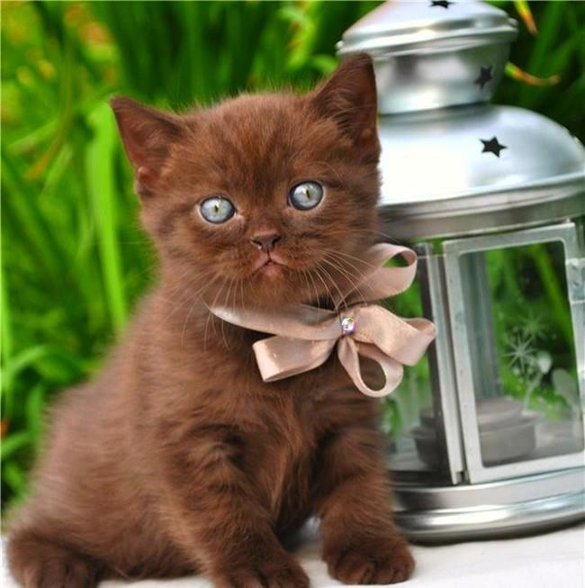 beautiful chocolate colour kitten