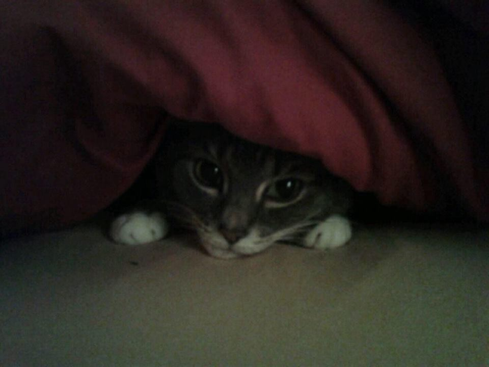 Cat under a blanket