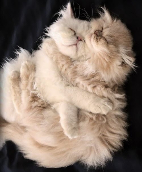 cuddles long white hair