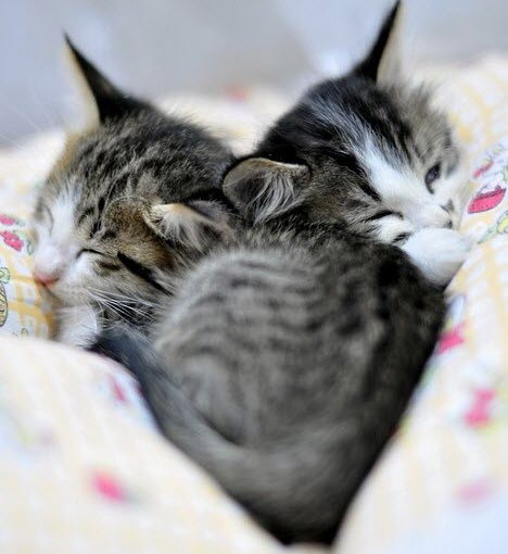 cute sleeping twin kittens