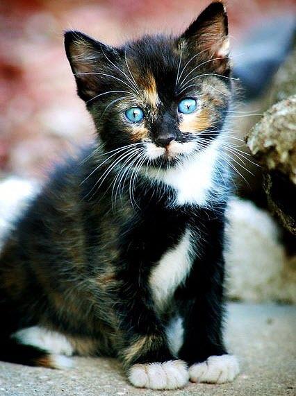pretty blue eyes kiten