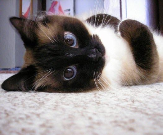 siamese blue eyes