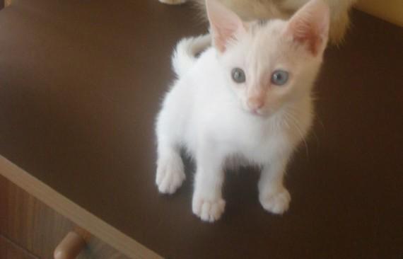 indo kitten