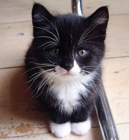 adorable tiny bw kitten