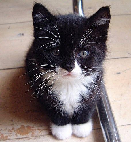 adorable tiny bw kitten