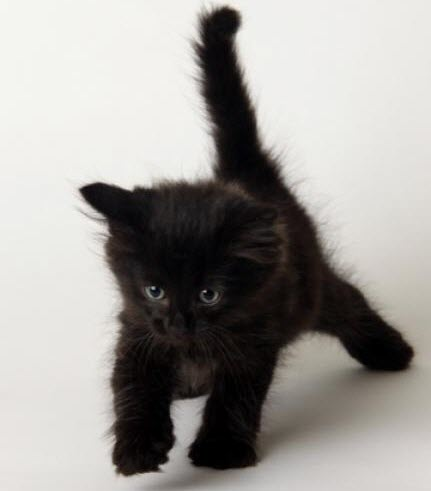 black kitten walking