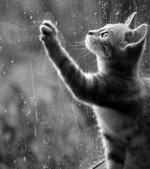 bw cat with rain