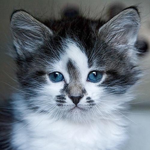 cuuuute kitten blue eyes