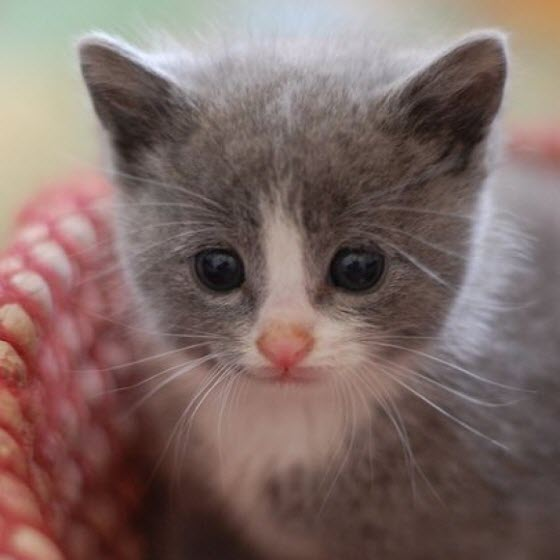 grey white kitten again
