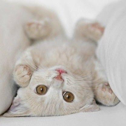 upside down beige kitten