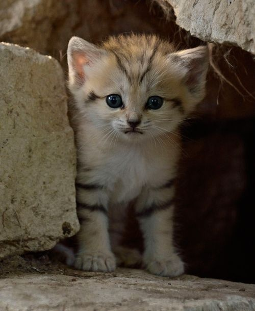 baby sand kitten