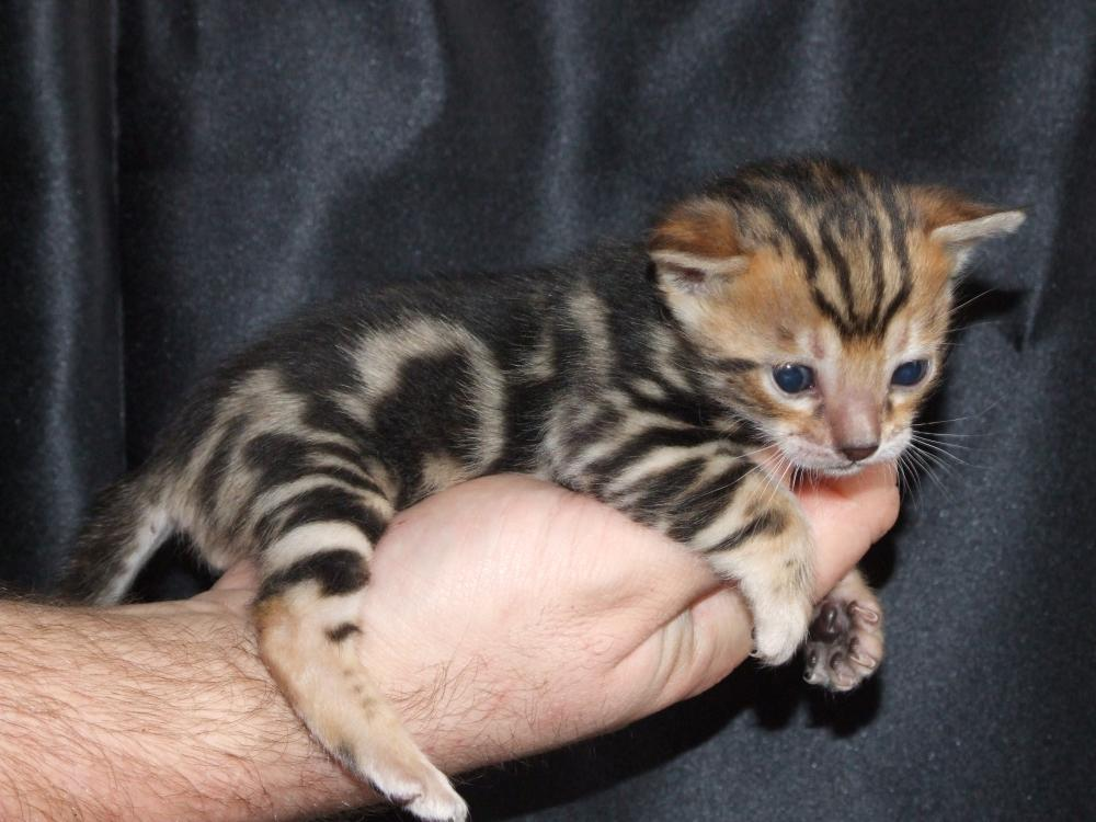 Teacup bengal cats for sale