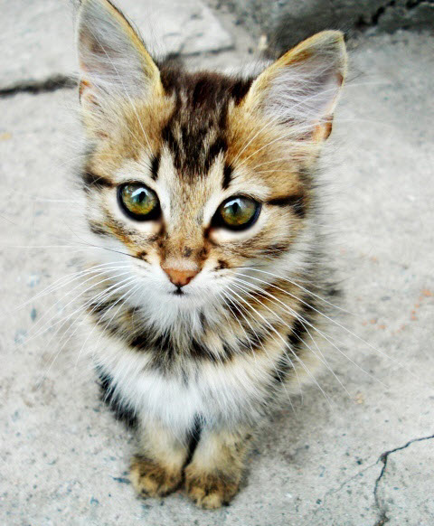 cute long tabby