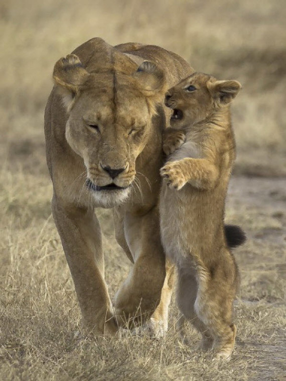 lioness and cub (2