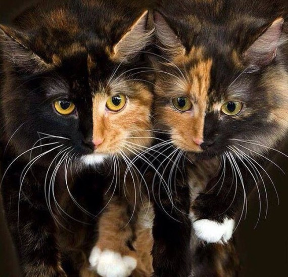 Chimera cats