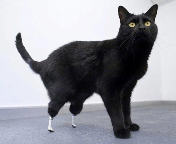 cat with prosthetic legs