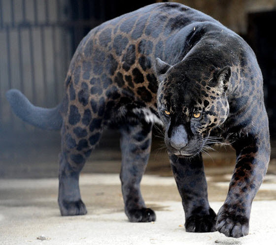 jaguar leopard cross