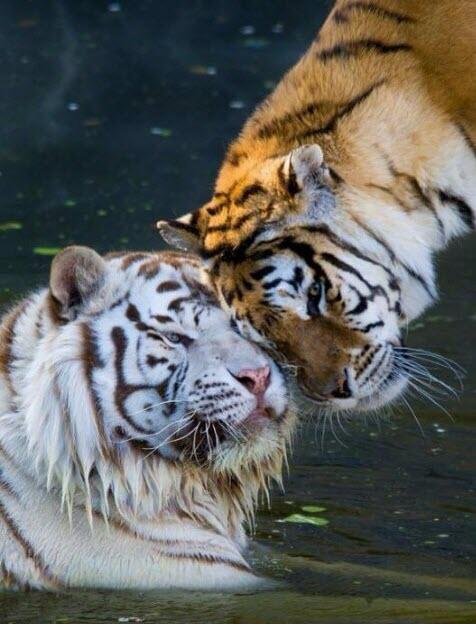 2 tigers head bop