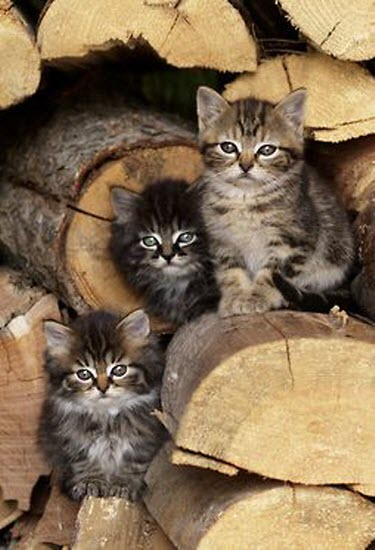 3 kittens wood