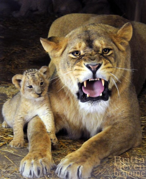Lioness with son