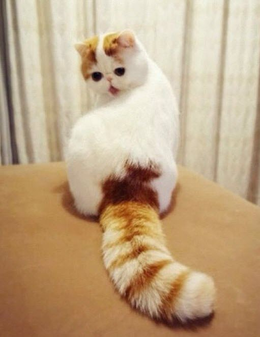 big tail cat