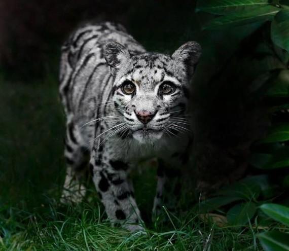 cloud leopard