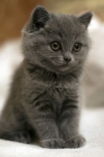 cute grey kitten 2
