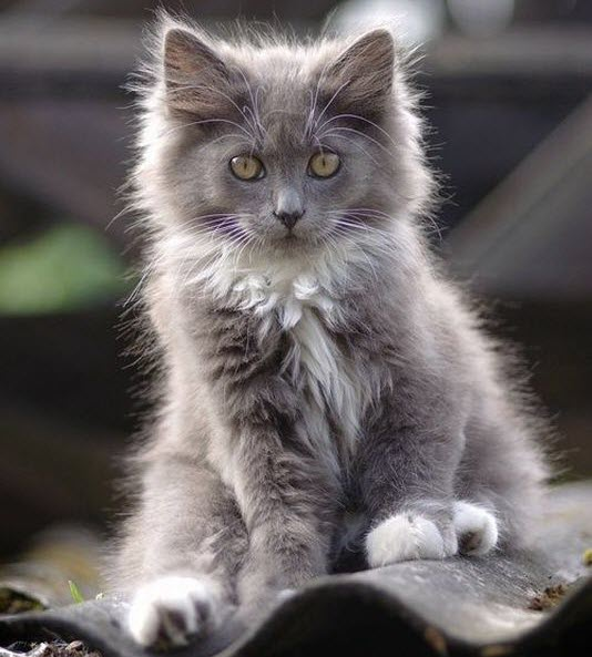 grey fluffy cute