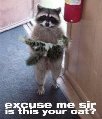 raccoon lolcat