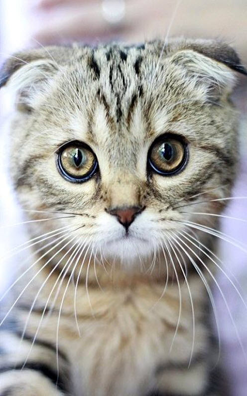 scottish fold cute