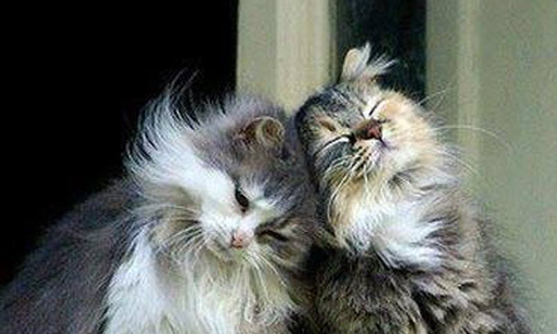 Topic des chats - Page 2 Two-cats-in-love1