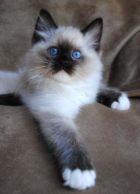 another ragdoll