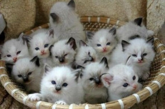 basket of white kittens