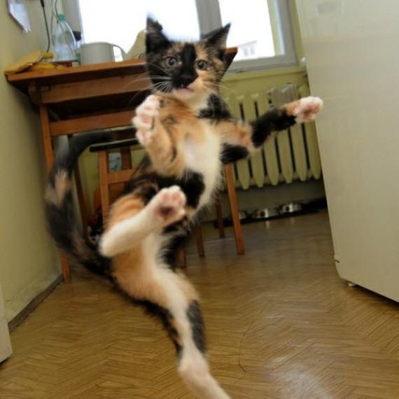 calico ninja cat
