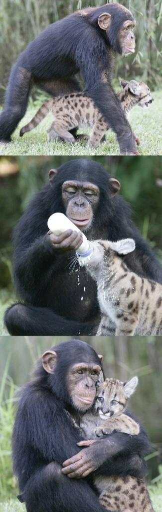 chimps love cats