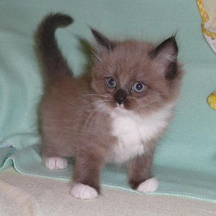 grey munchkin kitten
