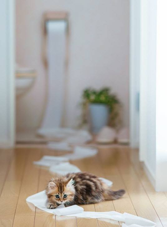 kitten with loo roll