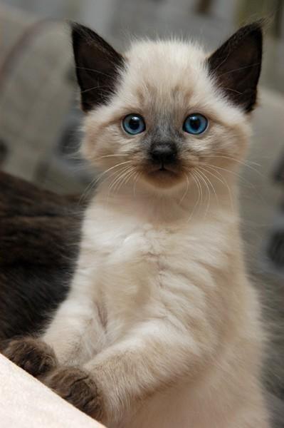 siamese kitten 2